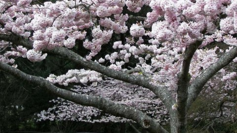 Cherry Blossoms for Children